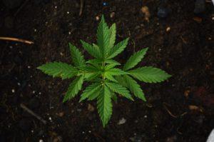 blockchain, marijuana legalization, marijuana legislation, medical marijuana, medical cannabis, legal weed, cannabis